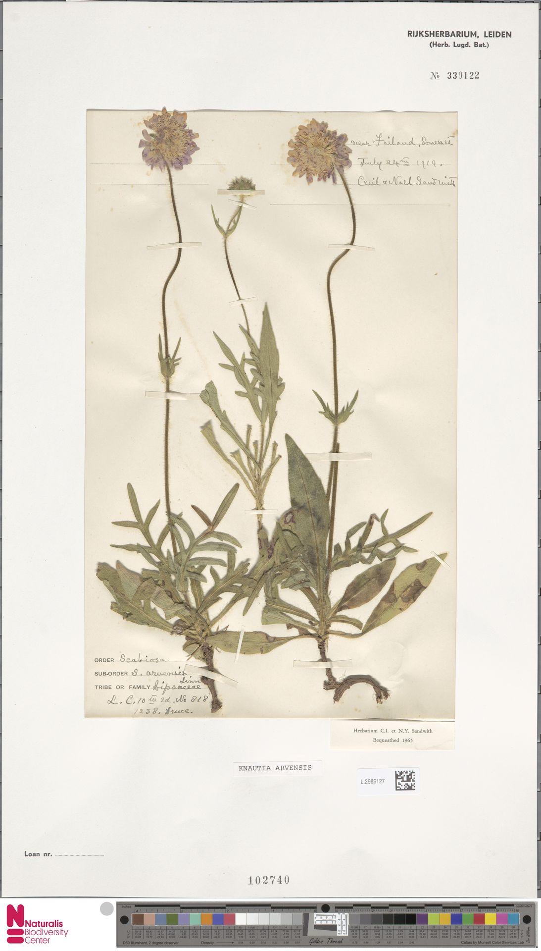 L.2986127 | Knautia arvensis (L.) Coult.