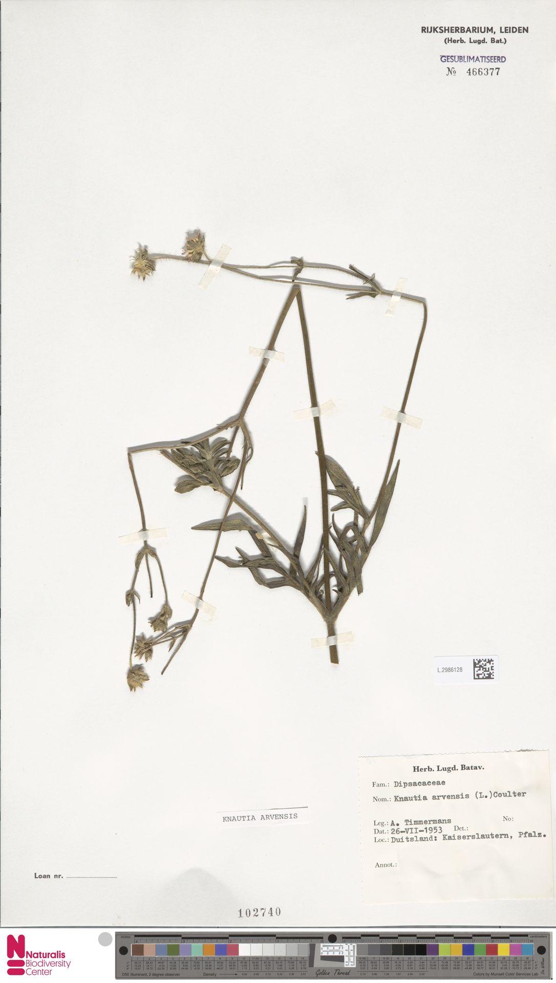 L.2986128 | Knautia arvensis (L.) Coult.