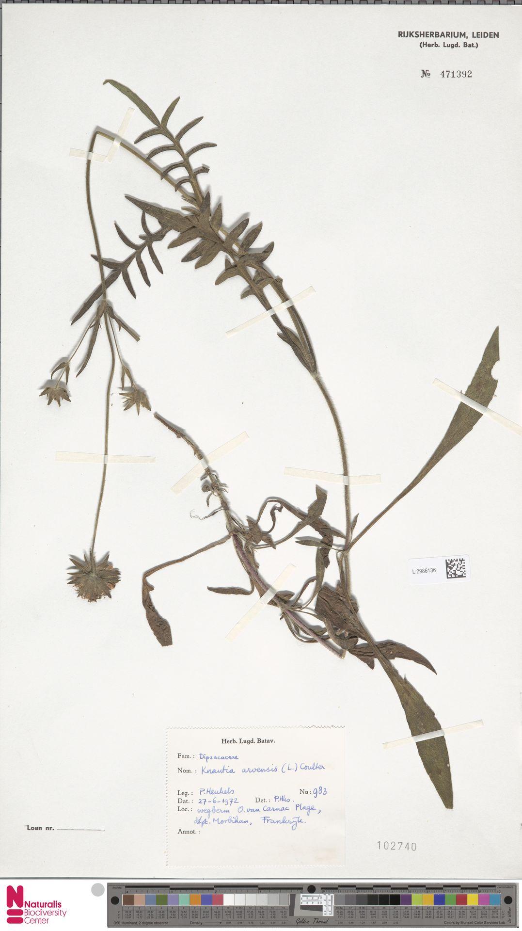 L.2986136 | Knautia arvensis (L.) Coult.