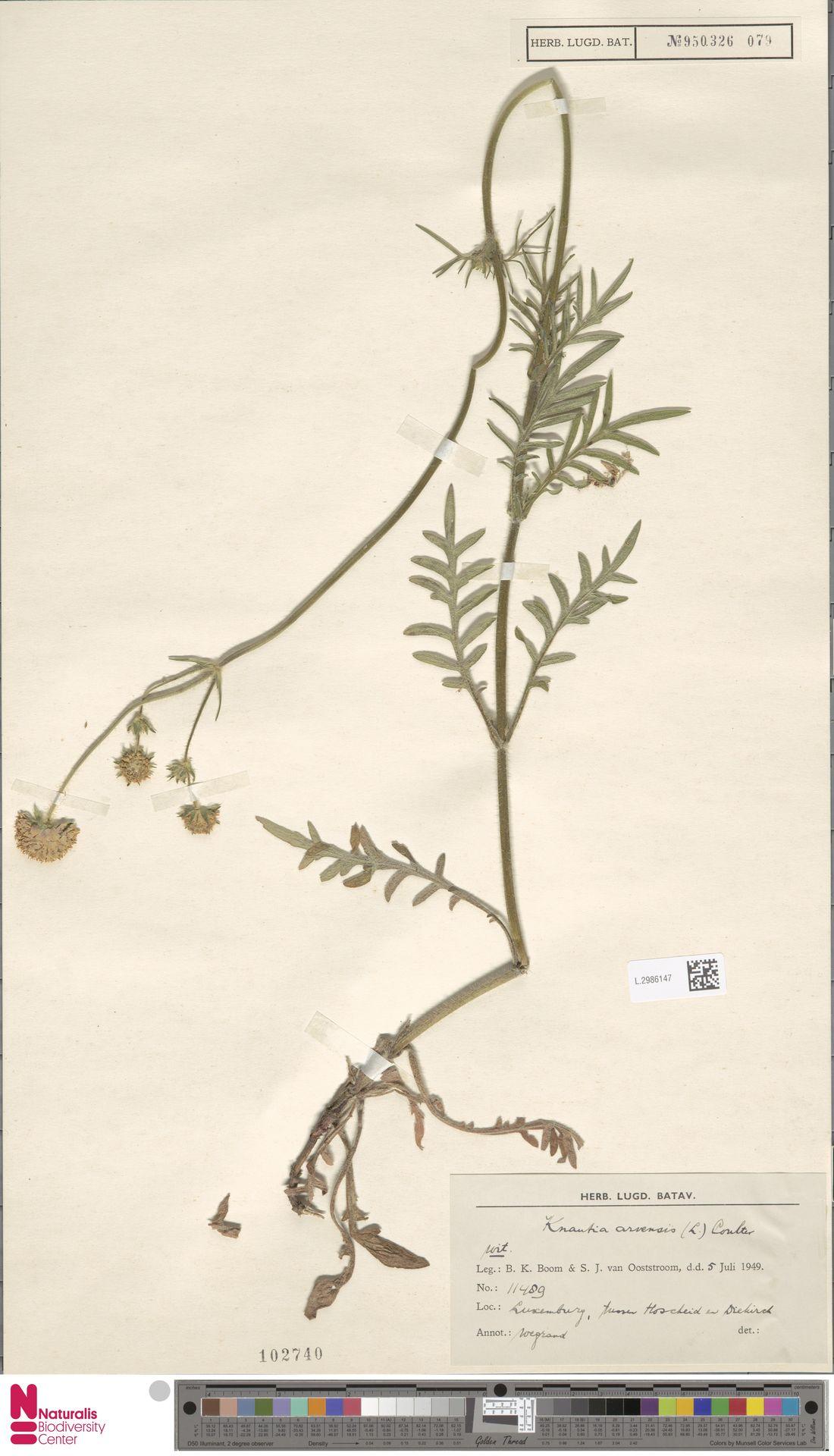 L.2986147 | Knautia arvensis (L.) Coult.