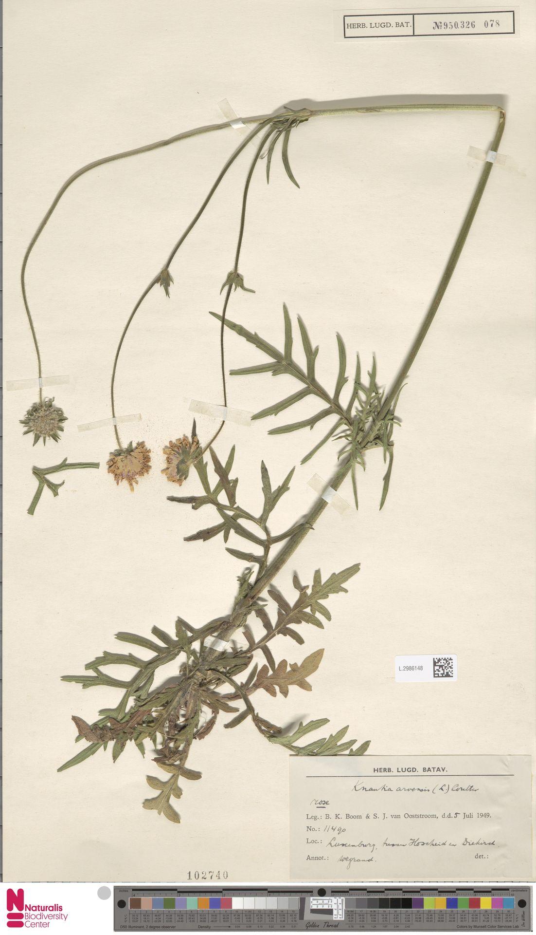 L.2986148 | Knautia arvensis (L.) Coult.