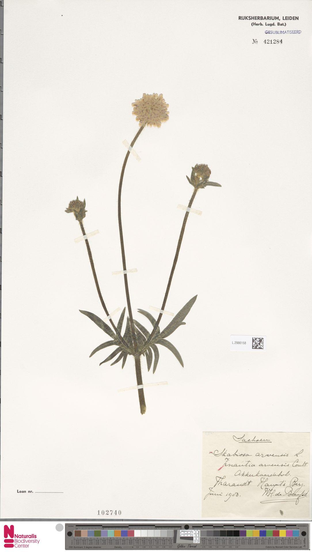 L.2986158 | Knautia arvensis (L.) Coult.