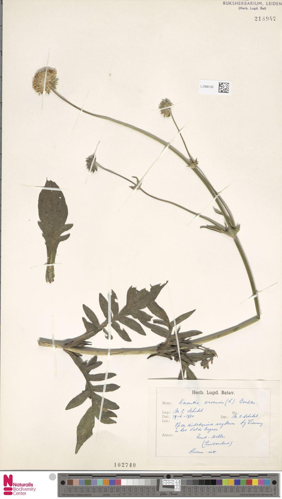 L.2986159 | Knautia arvensis (L.) Coult.