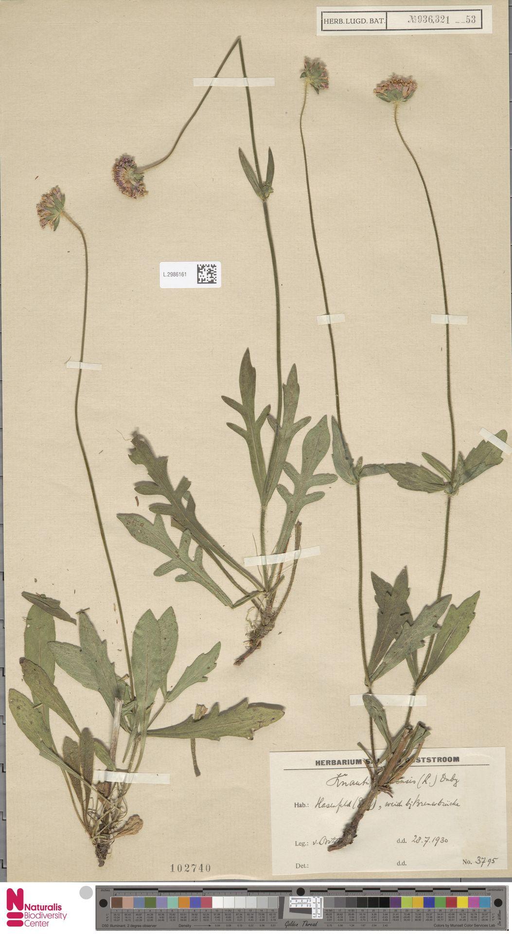 L.2986161   Knautia arvensis (L.) Coult.