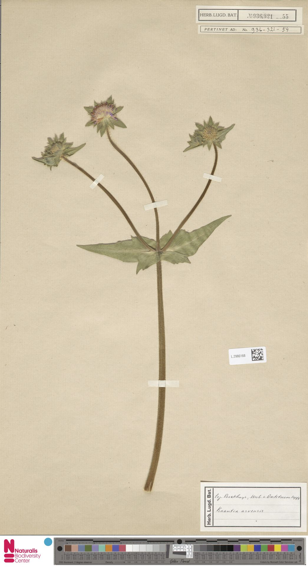 L.2986168 | Knautia arvensis (L.) Coult.