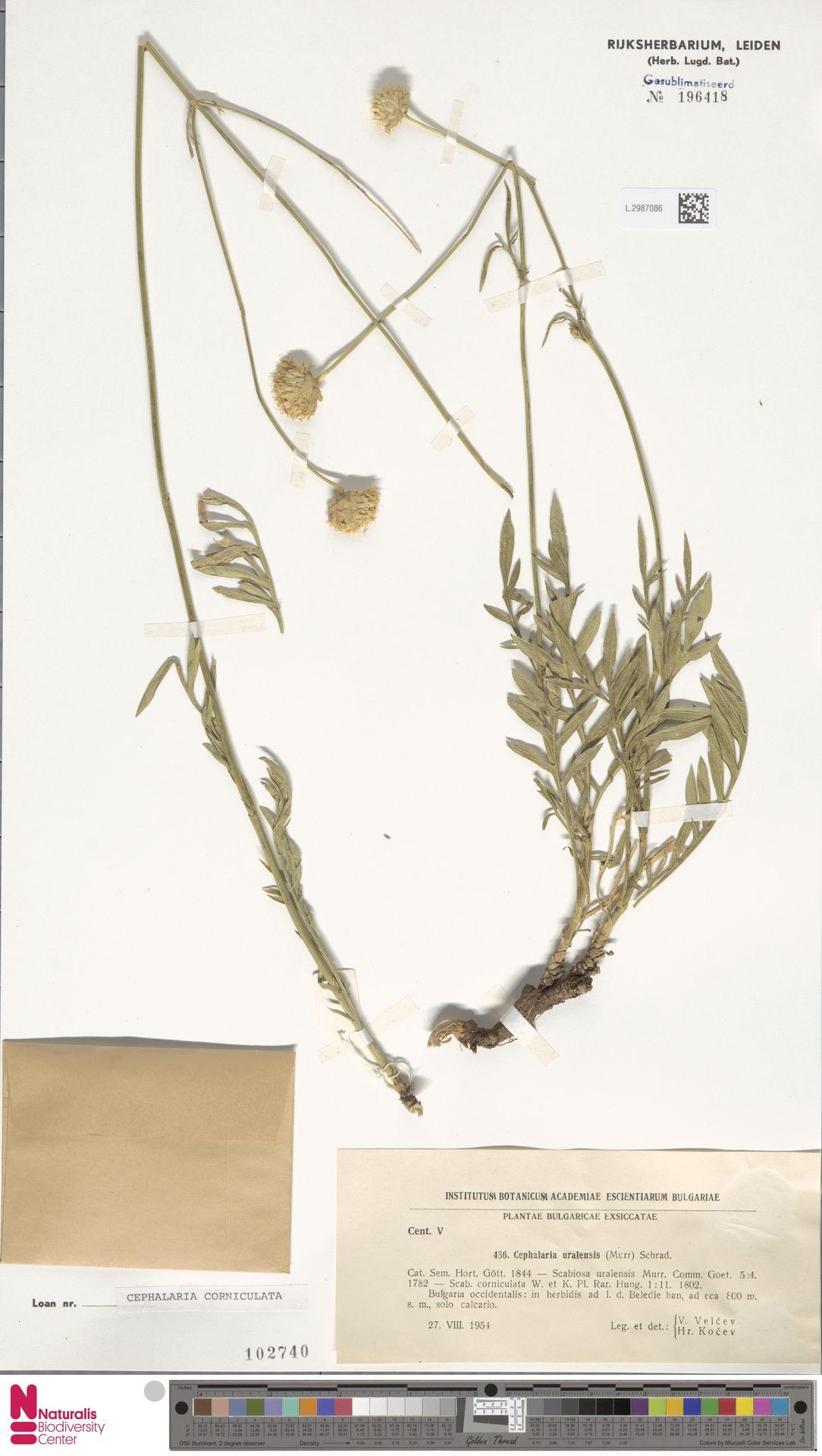 L.2987086 | Cephalaria uralensis (Murray) Roem. & Schult.