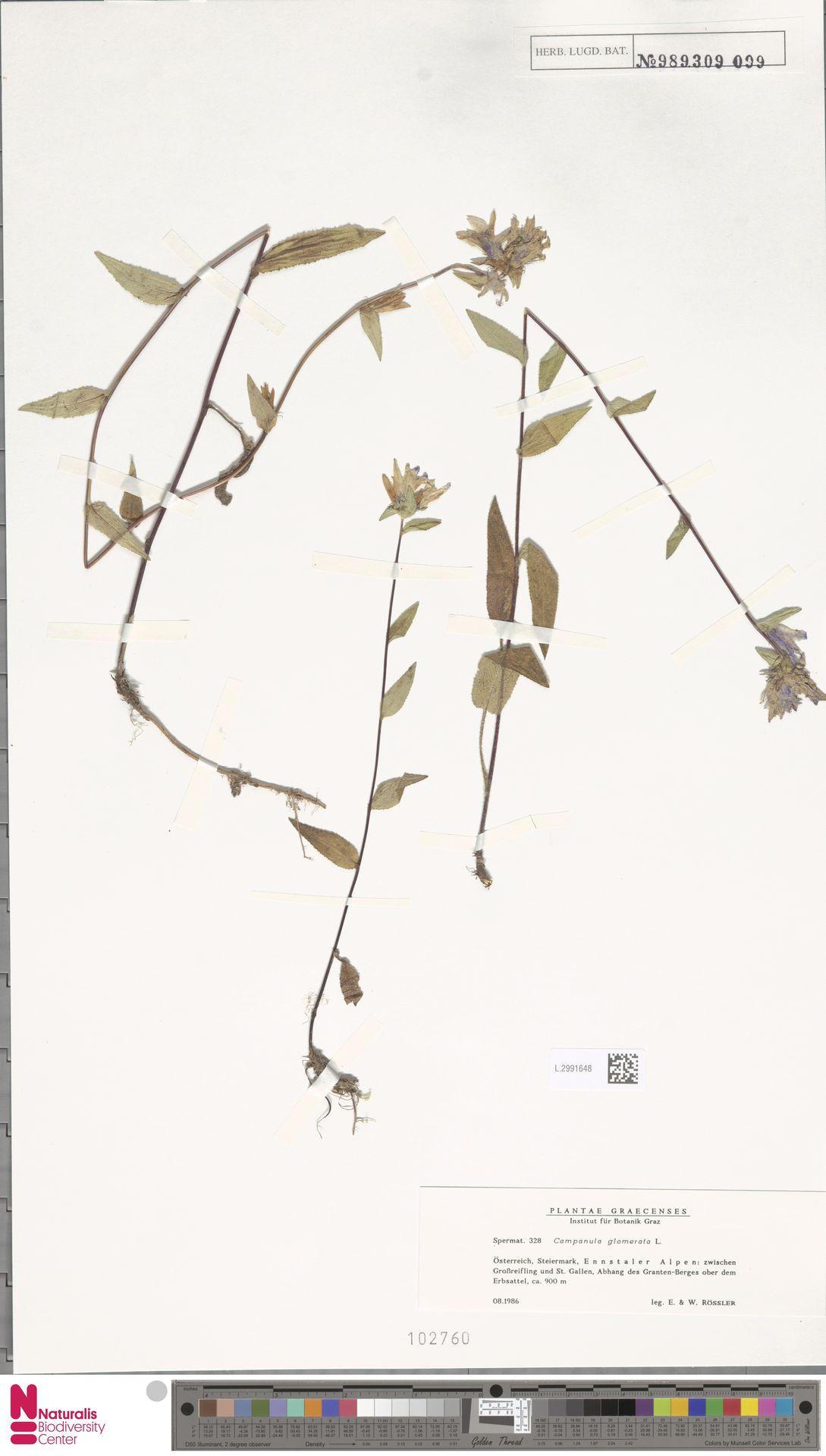 L.2991648 | Campanula glomerata L.
