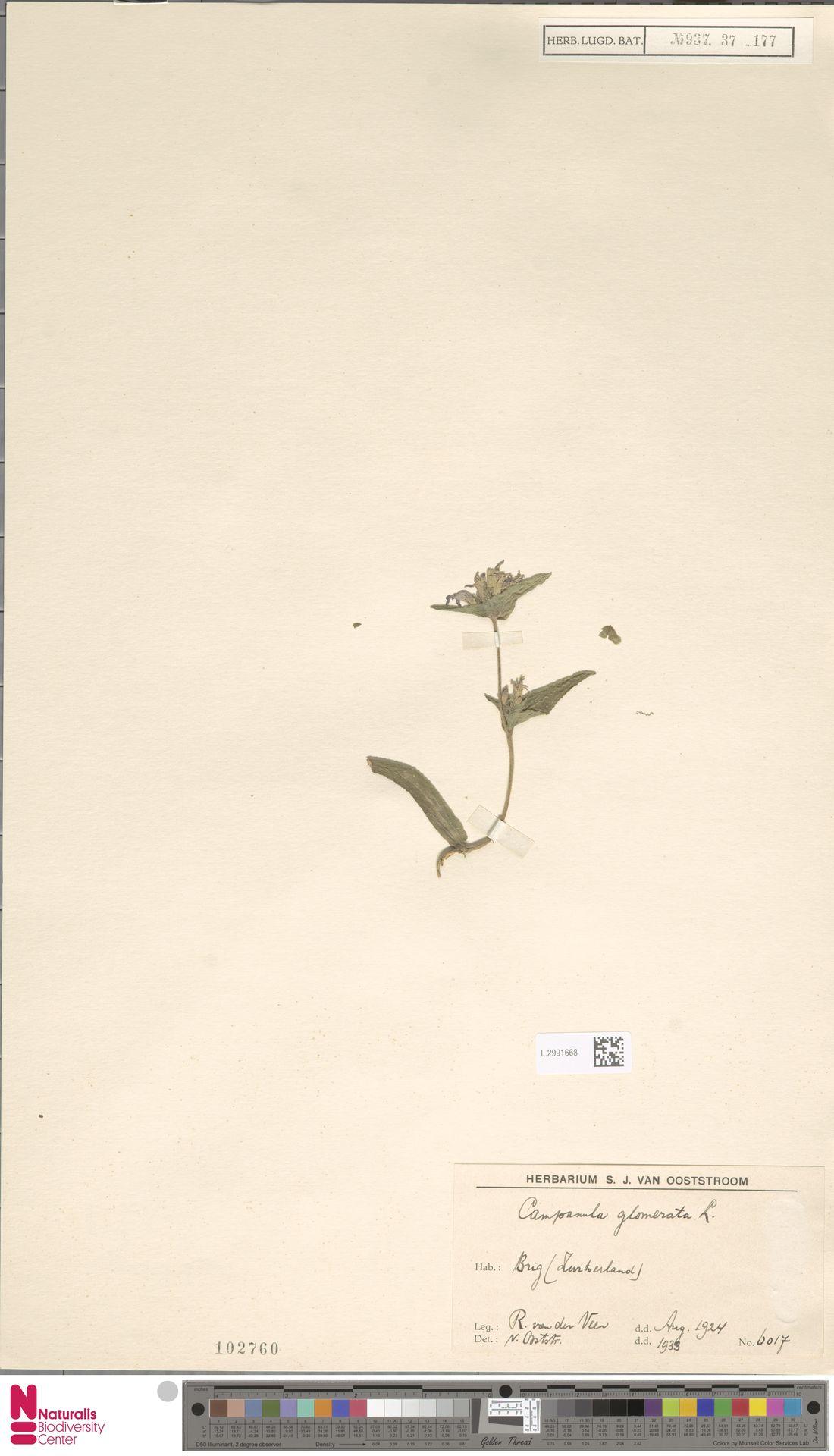 L.2991668 | Campanula glomerata L.