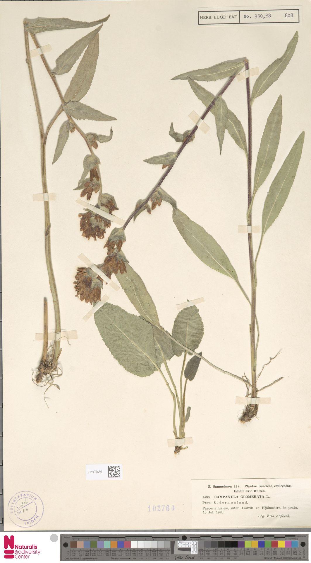L.2991689   Campanula glomerata L.