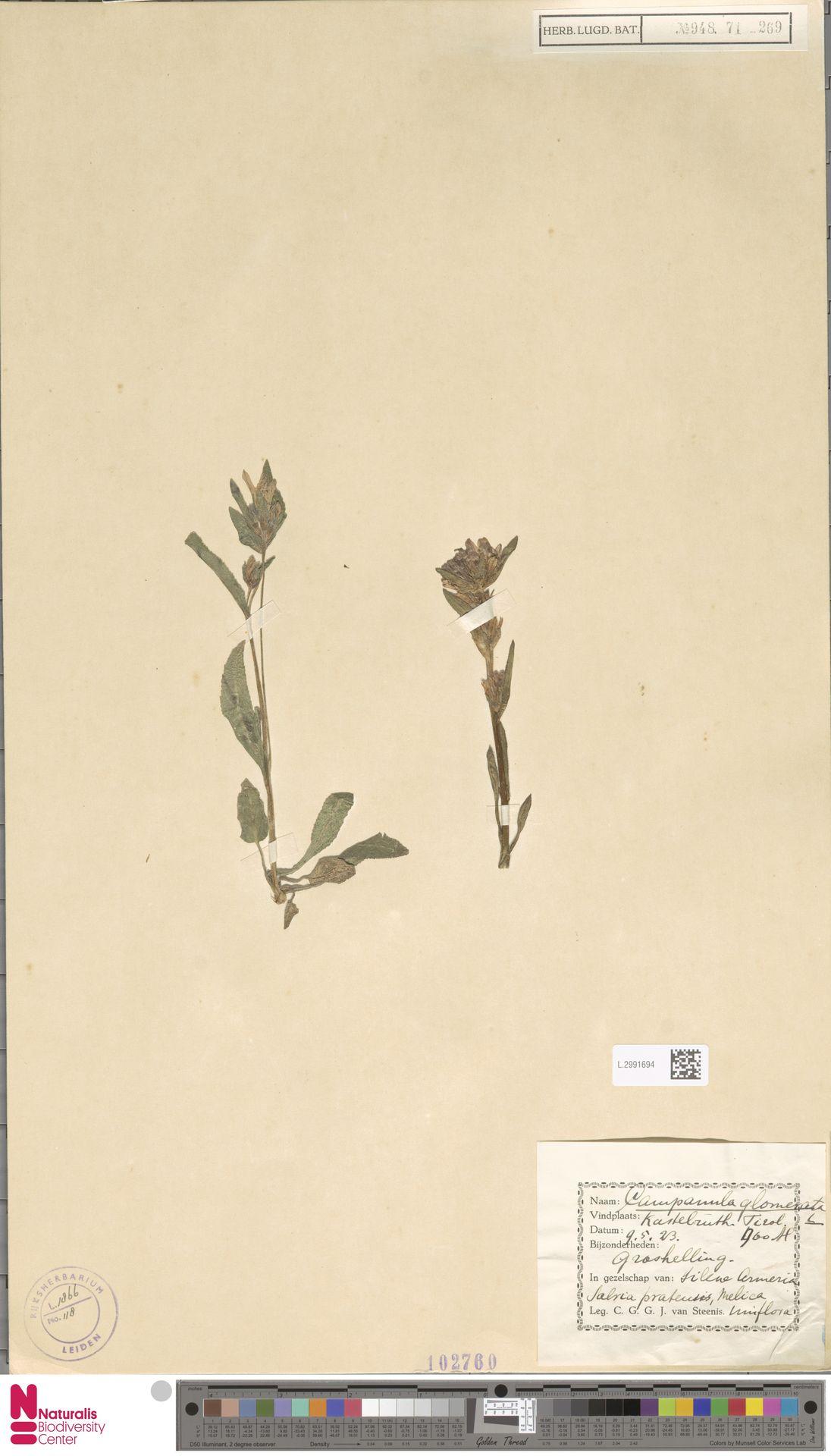 L.2991694   Campanula glomerata L.