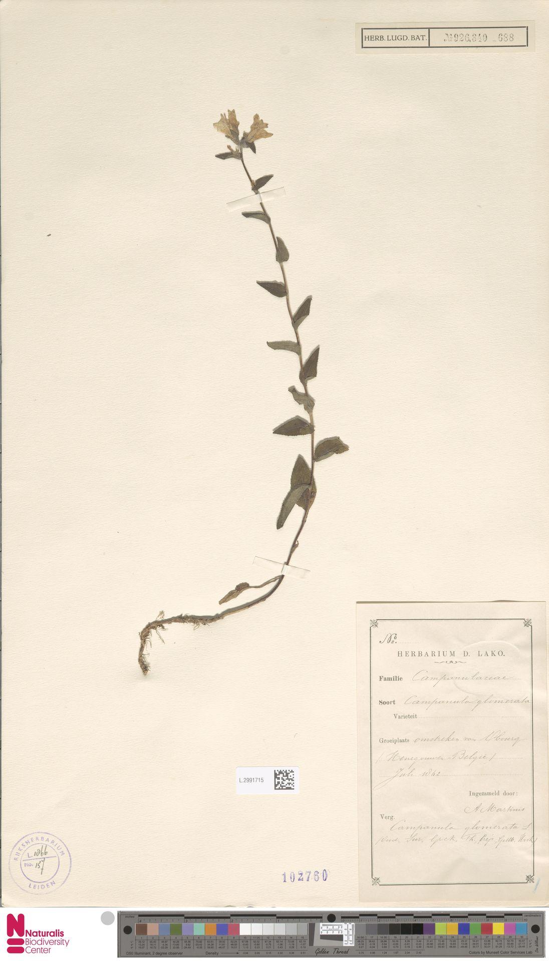 L.2991715 | Campanula glomerata L.