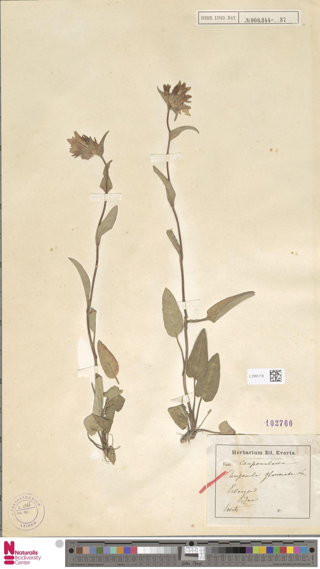 L.2991718   Campanula glomerata L.