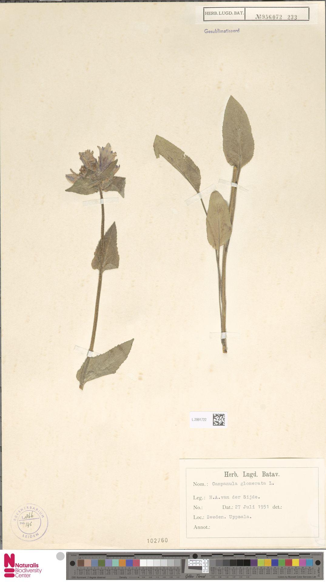 L.2991722 | Campanula glomerata L.
