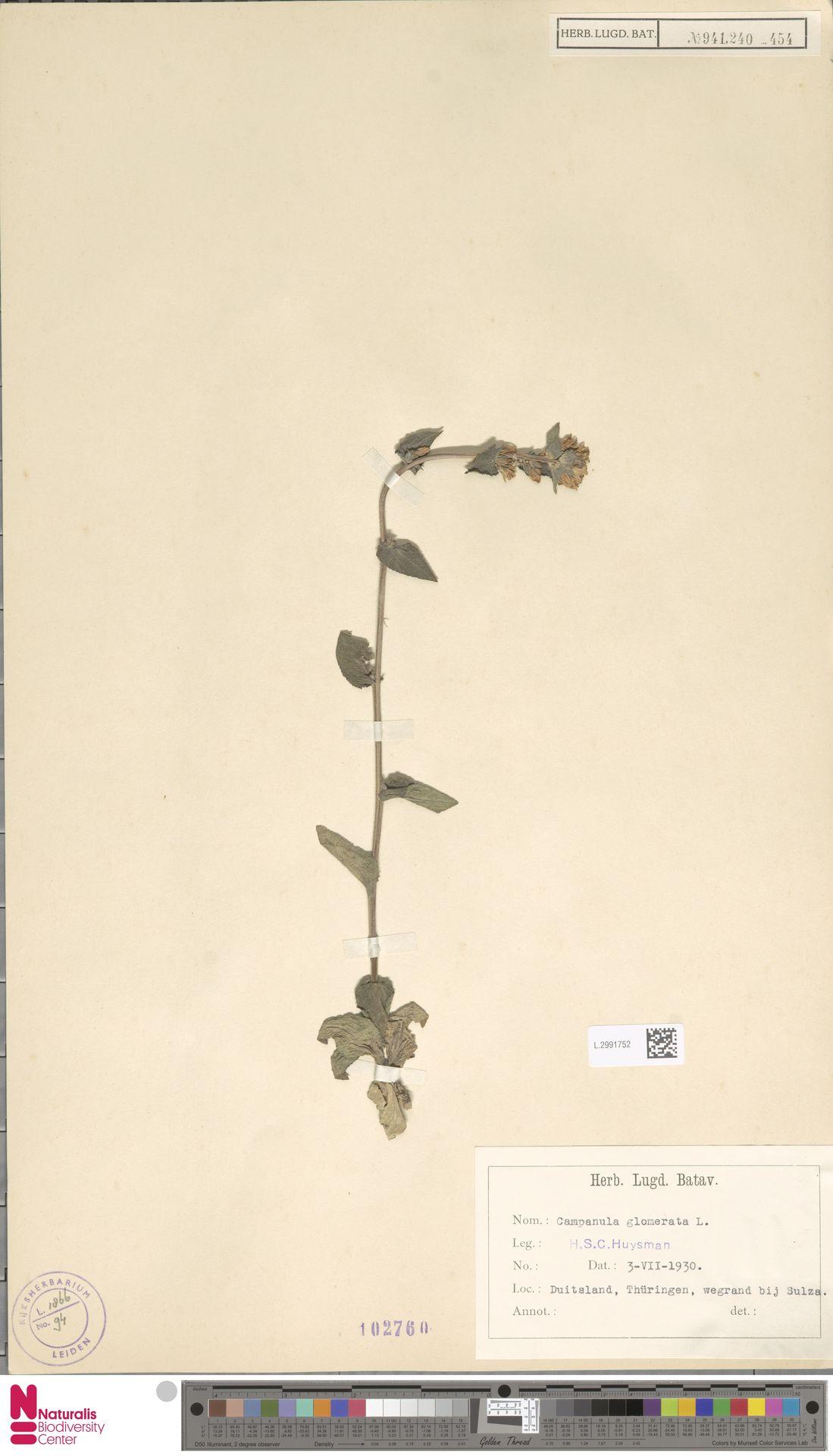 L.2991752 | Campanula glomerata L.