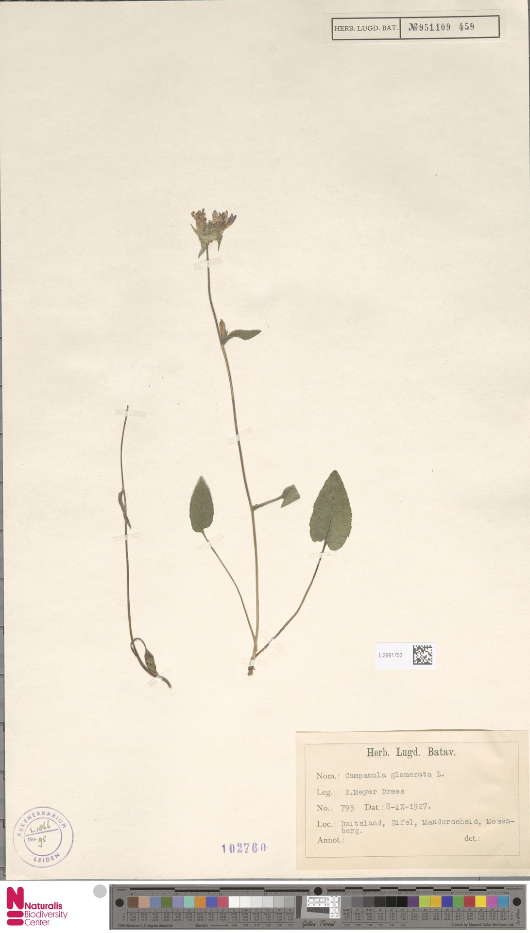 L.2991753 | Campanula glomerata L.
