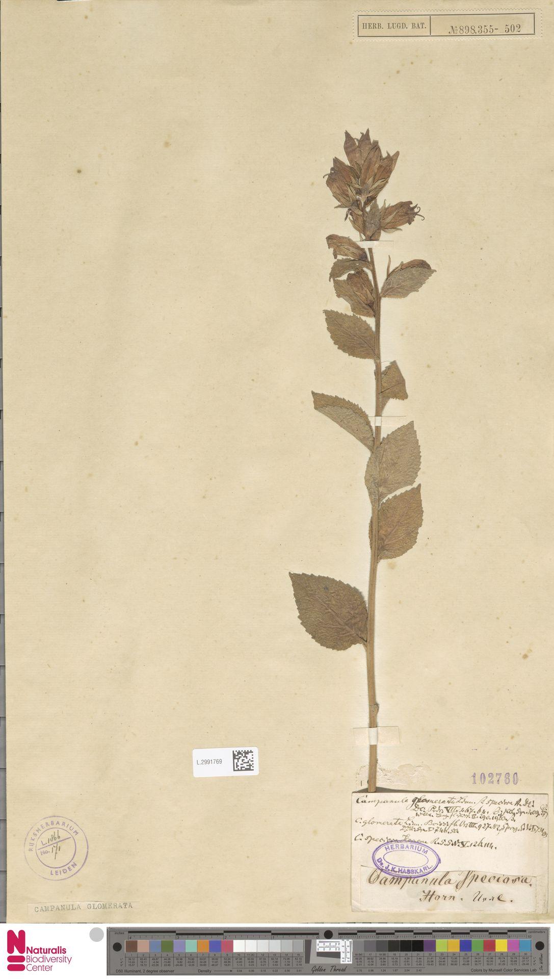 L.2991769   Campanula glomerata L.