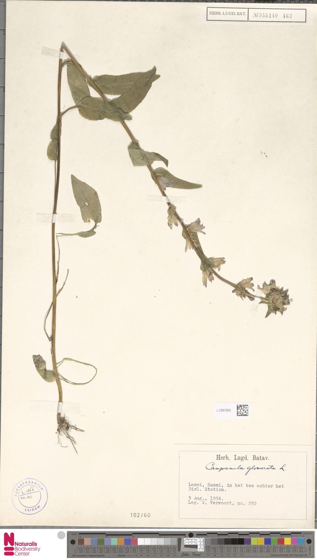 L.2991800 | Campanula glomerata L.