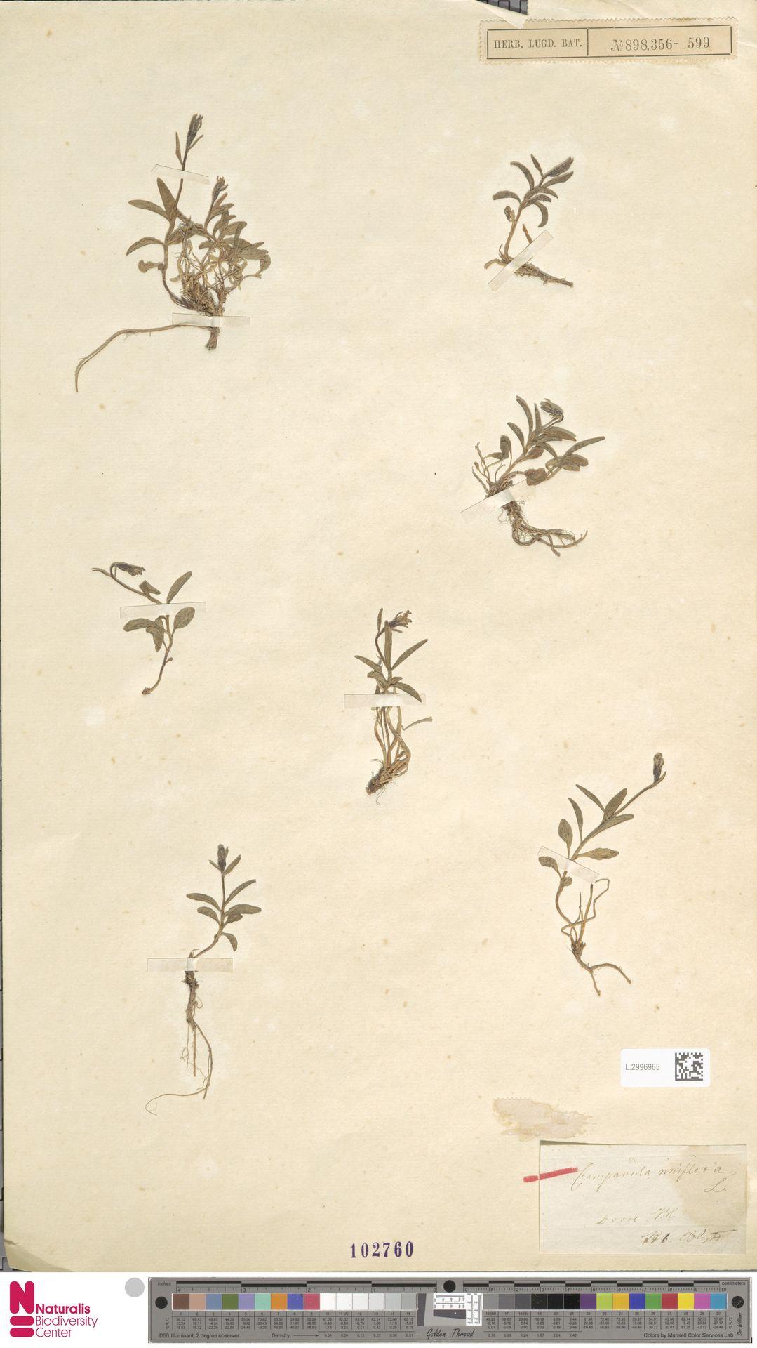 L.2996965 | Campanula uniflora L.
