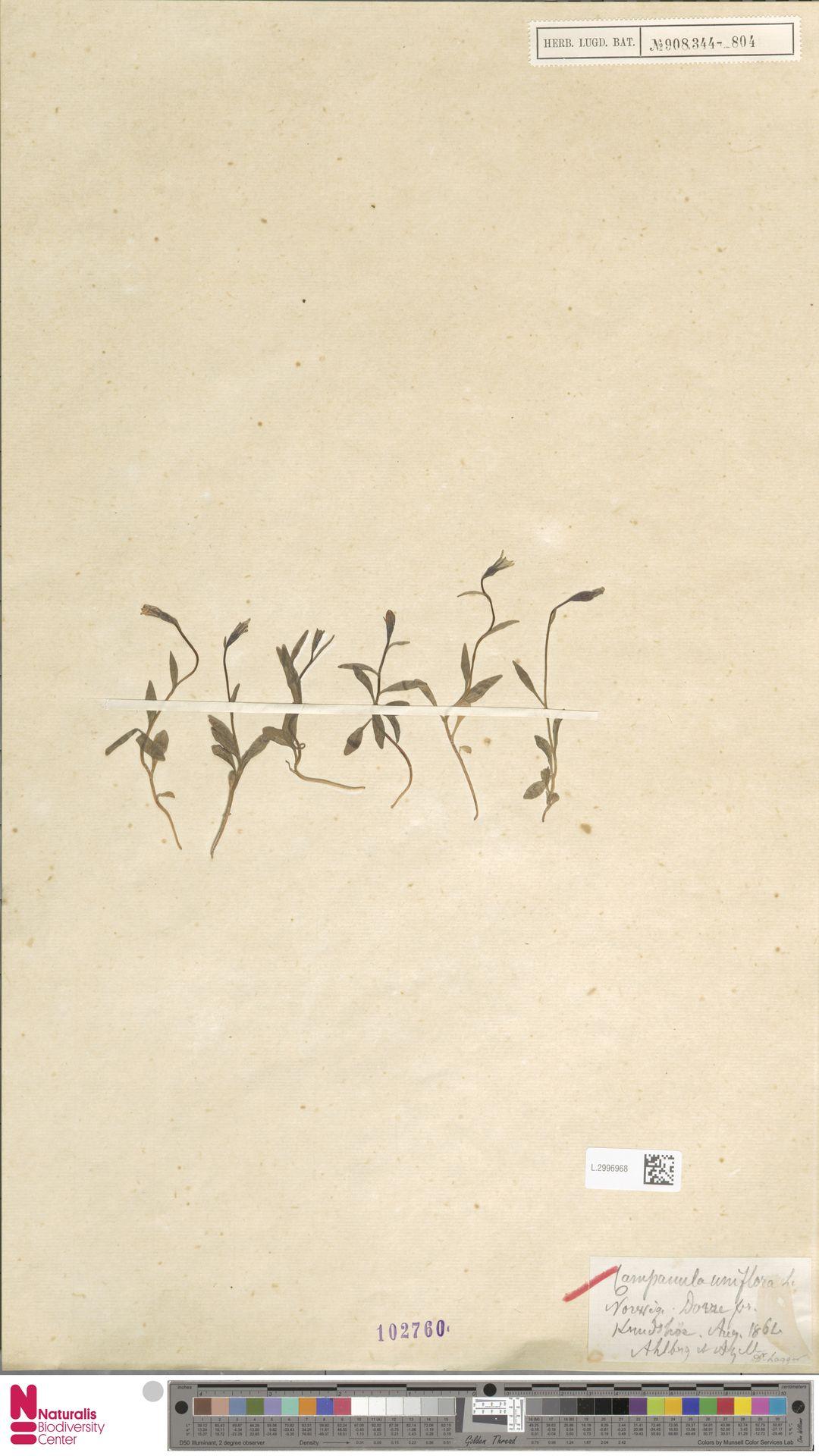 L.2996968   Campanula uniflora L.