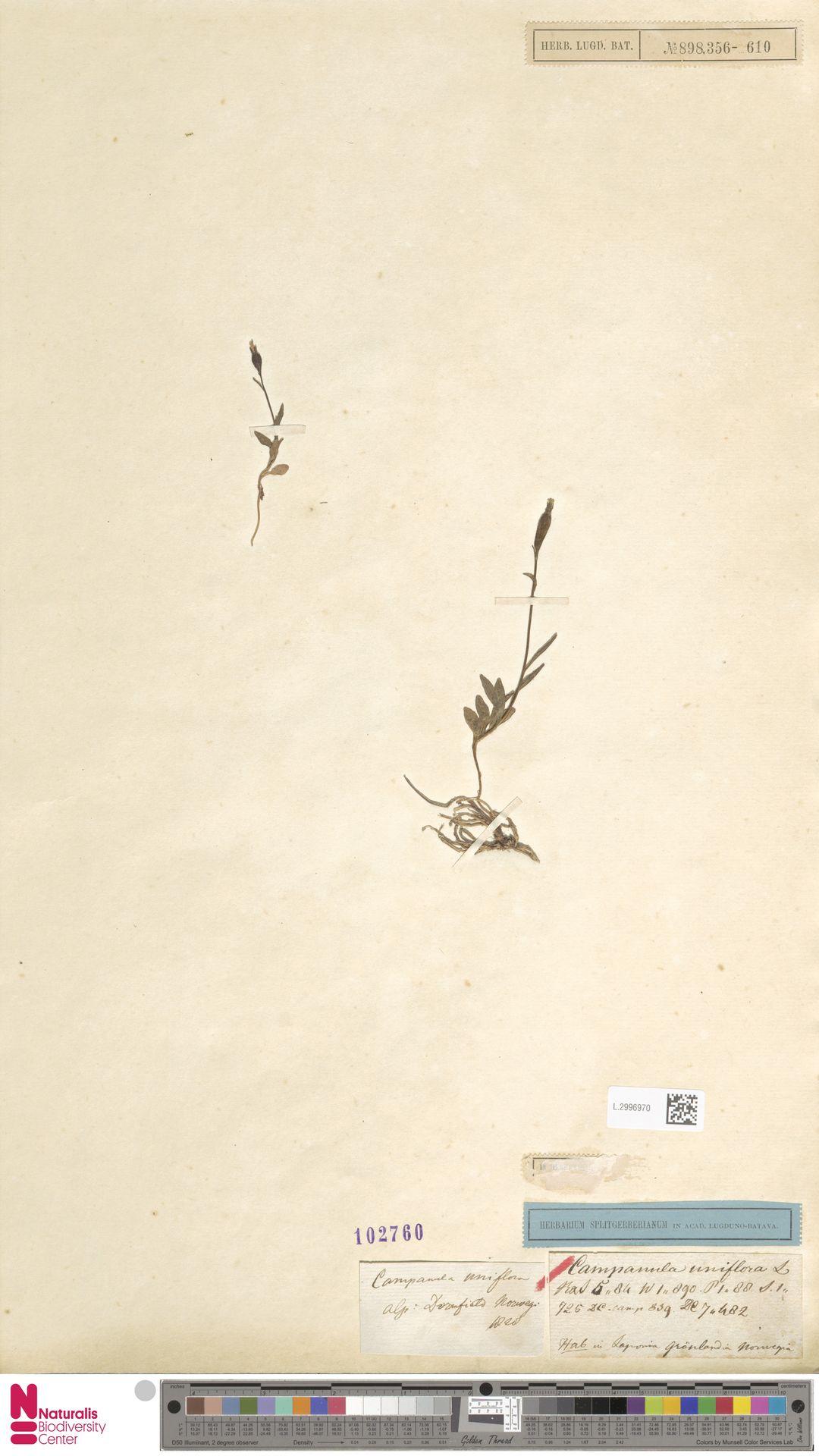 L.2996970 | Campanula uniflora L.