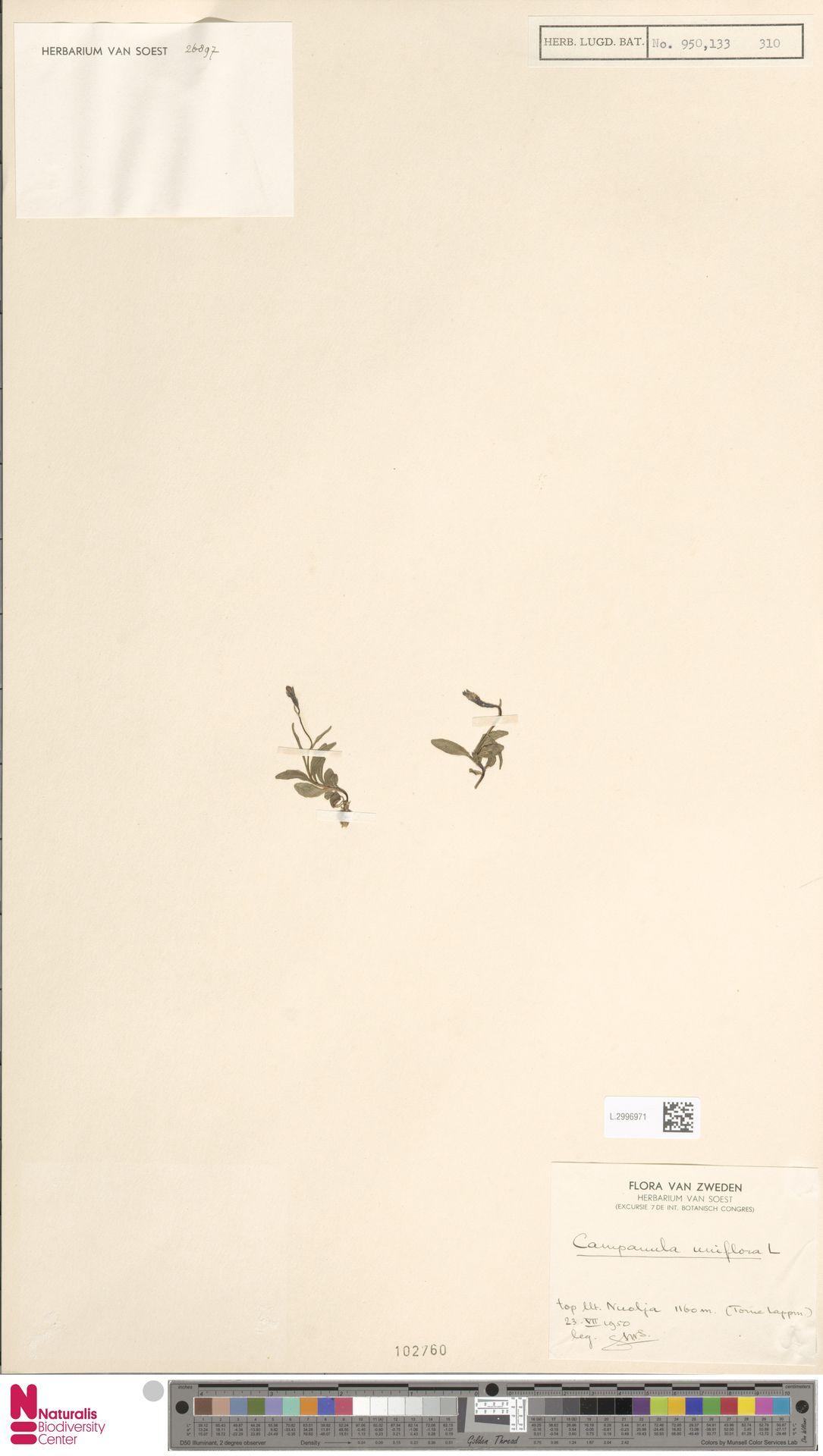 L.2996971 | Campanula uniflora L.