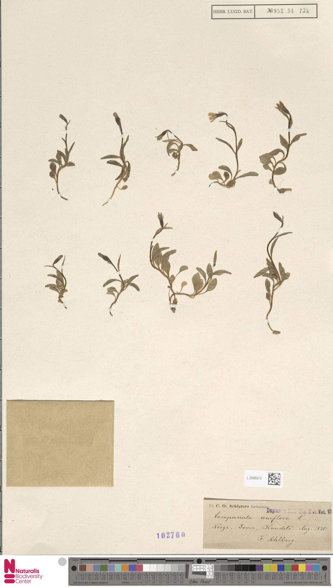 L.2996972 | Campanula uniflora L.