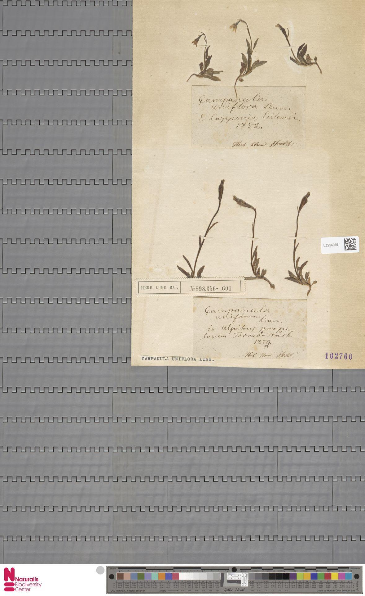 L.2996975 | Campanula uniflora L.