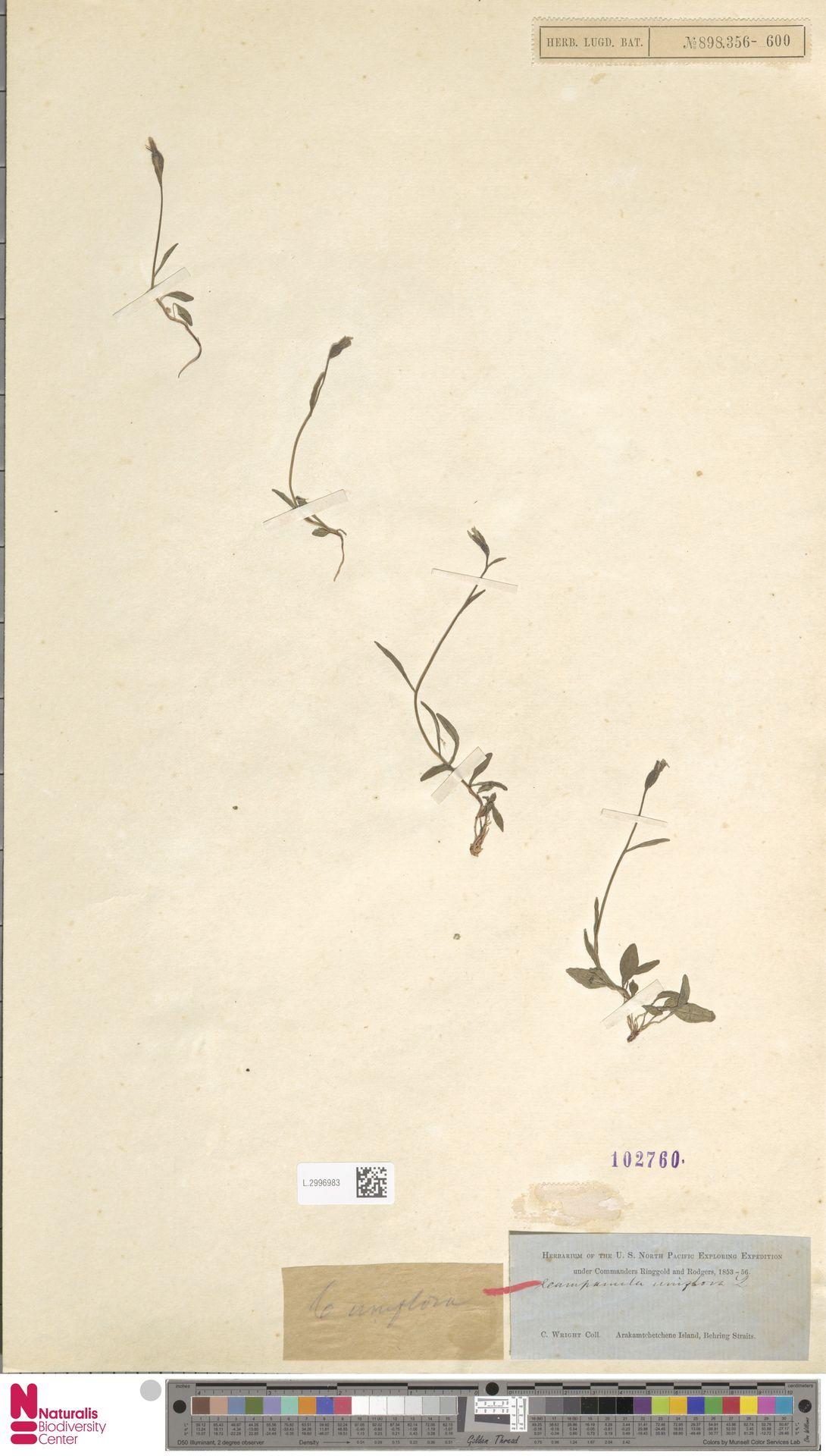 L.2996983 | Campanula uniflora L.