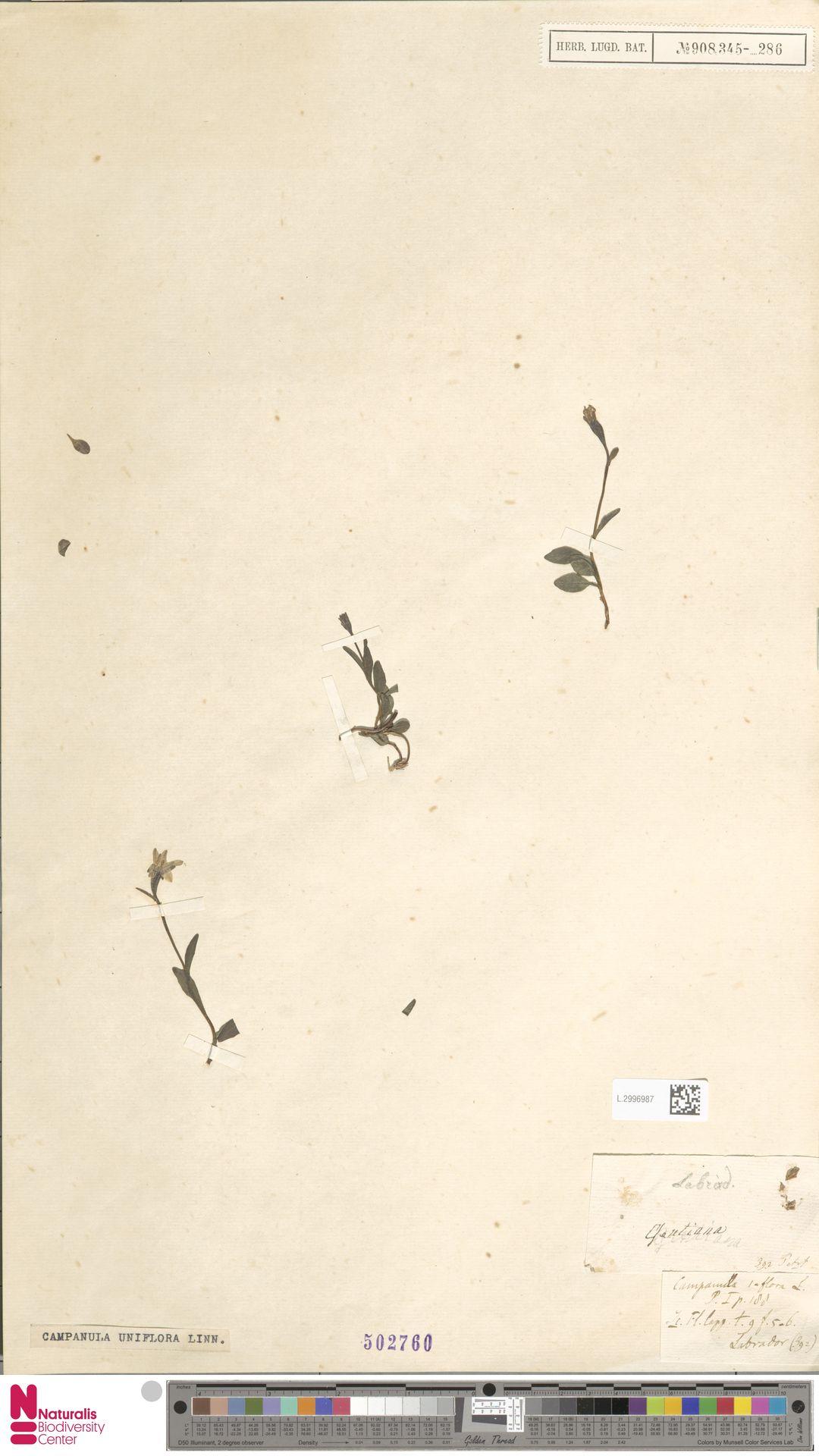 L.2996987 | Campanula uniflora L.