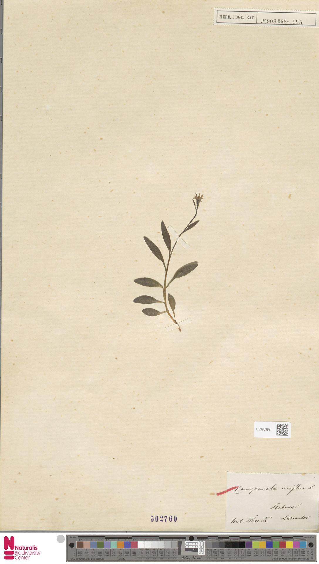 L.2996992   Campanula uniflora L.