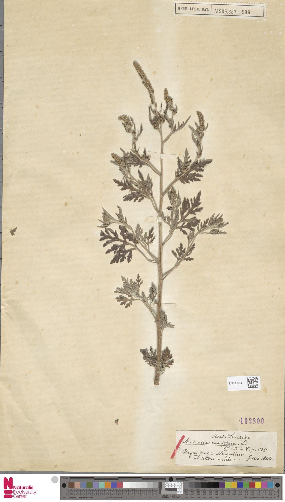 L.3003654   Ambrosia maritima L.