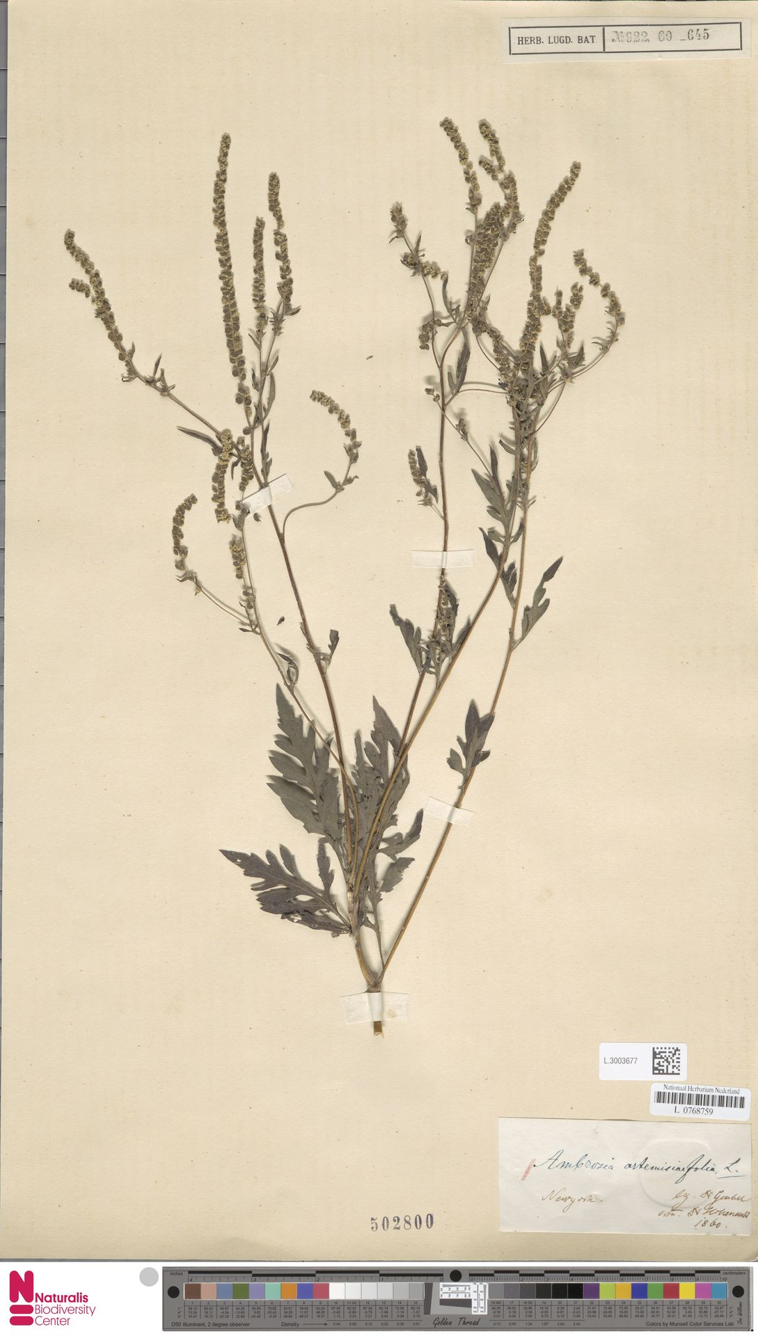 L.3003677 | Ambrosia artemisiifolia L.