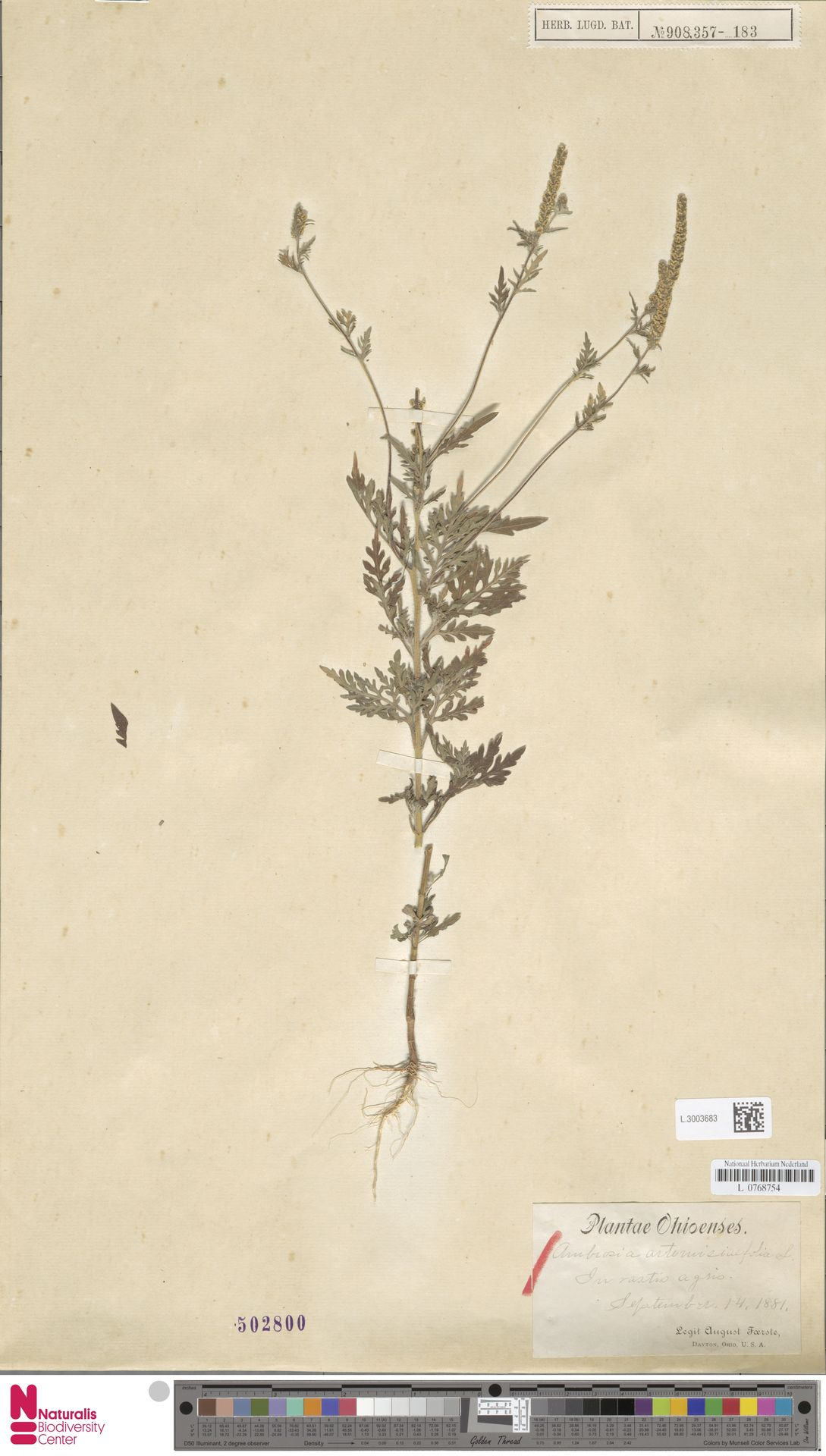 L.3003683   Ambrosia artemisiifolia L.