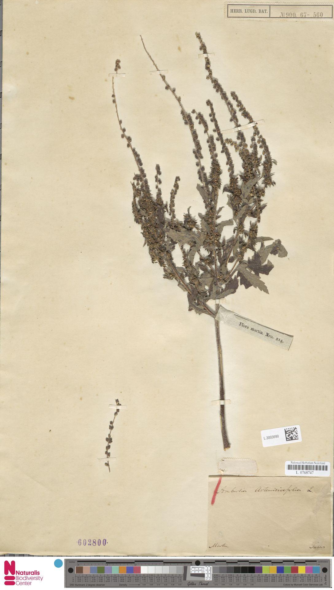 L.3003690   Ambrosia artemisiifolia L.