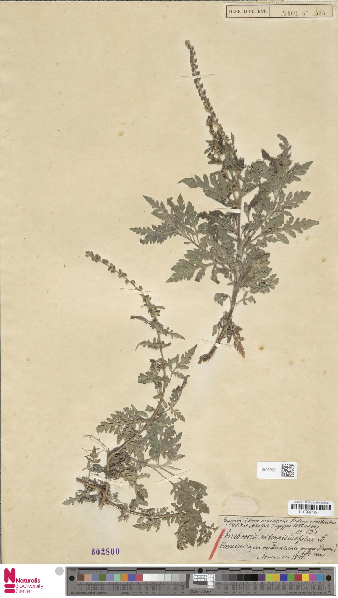 L.3003692   Ambrosia artemisiifolia L.