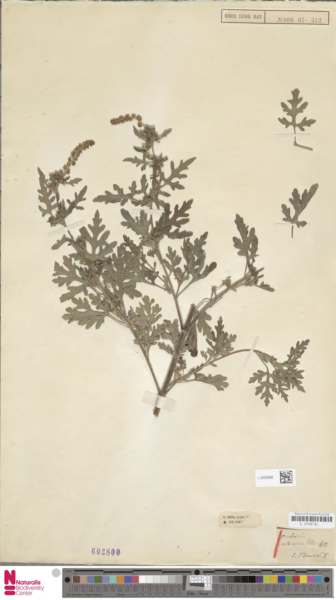 L.3003696   Ambrosia artemisiifolia L.