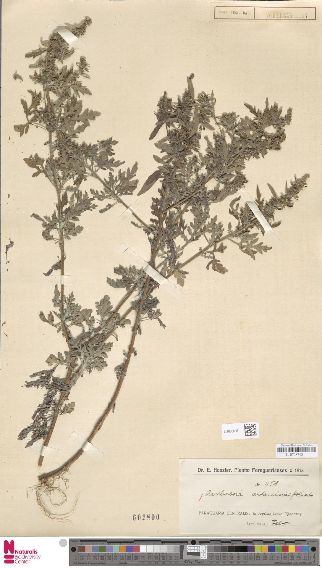 L.3003697   Ambrosia artemisiifolia L.