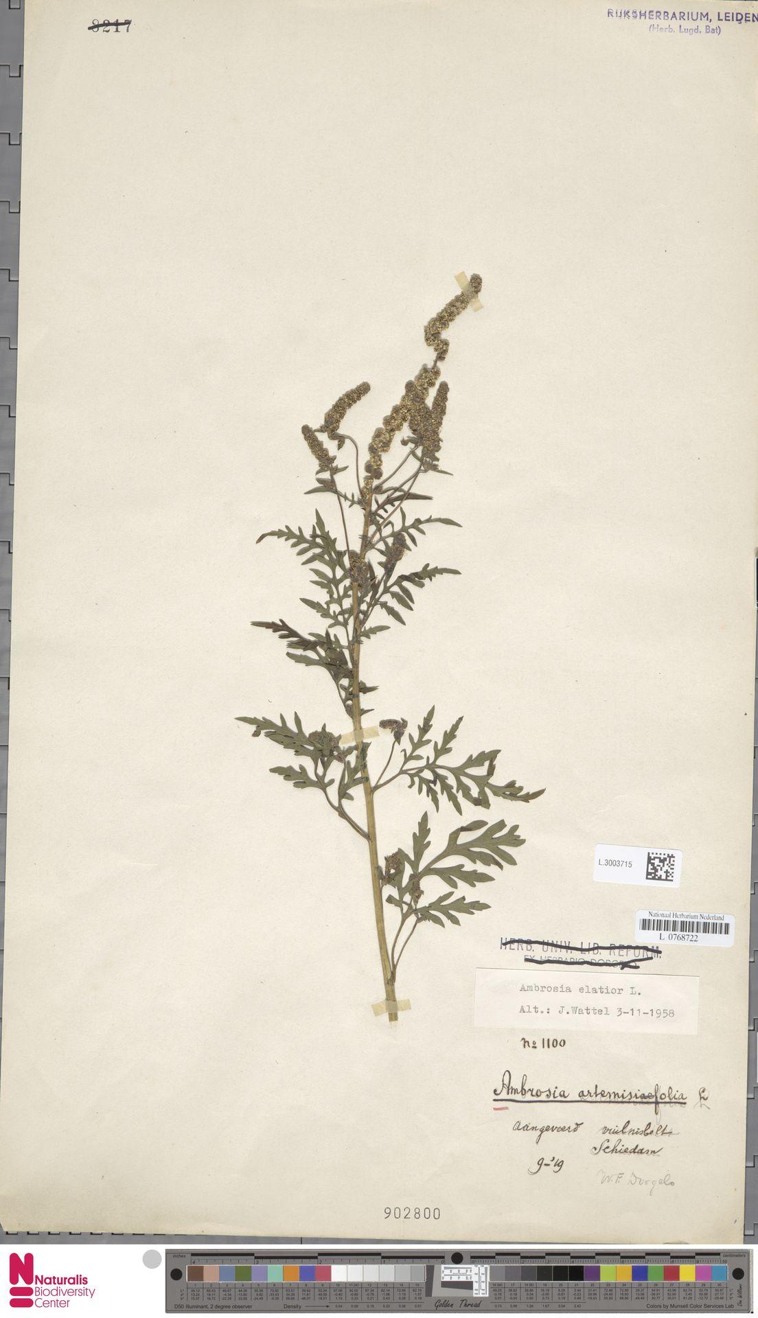 L.3003715 | Ambrosia artemisiifolia L.