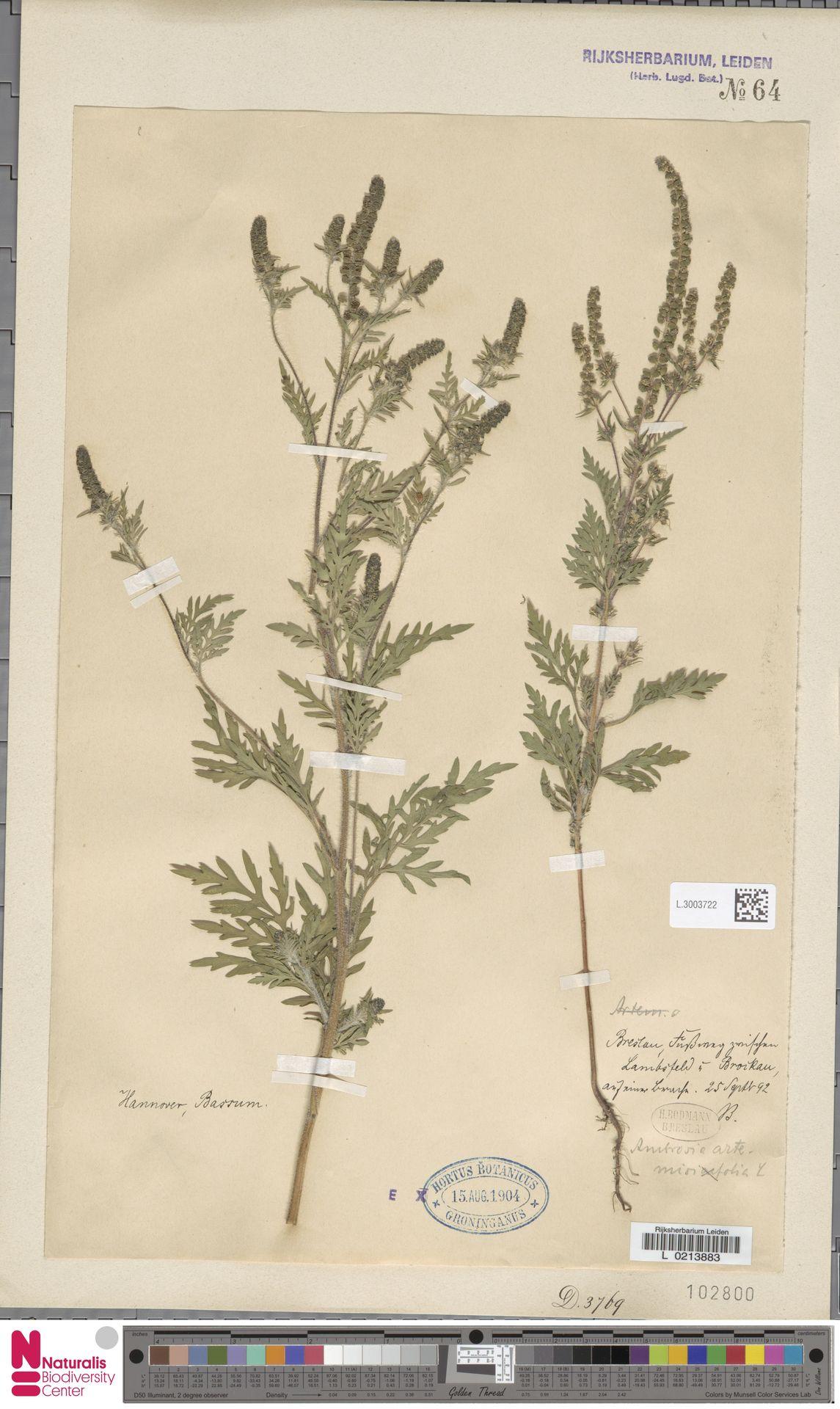 L.3003722 | Ambrosia artemisiifolia L.