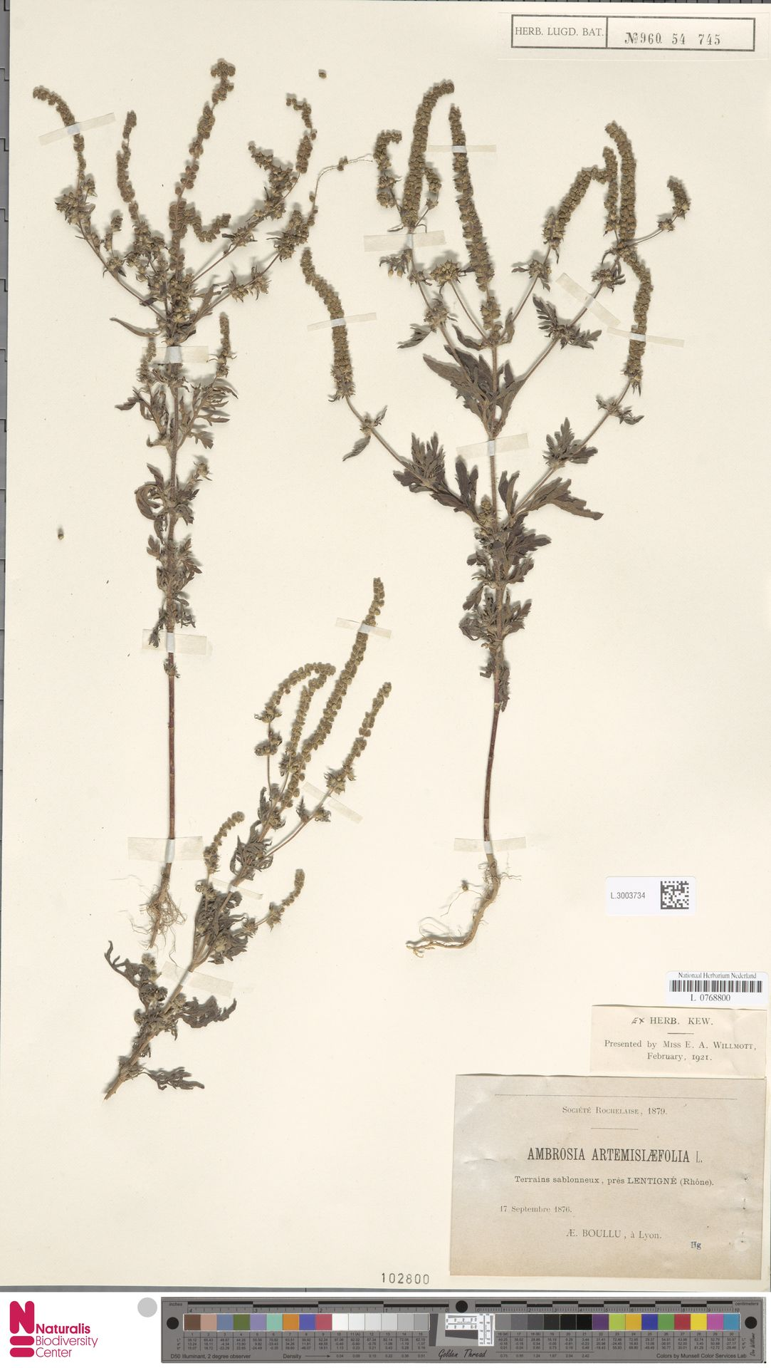 L.3003734   Ambrosia artemisiifolia L.