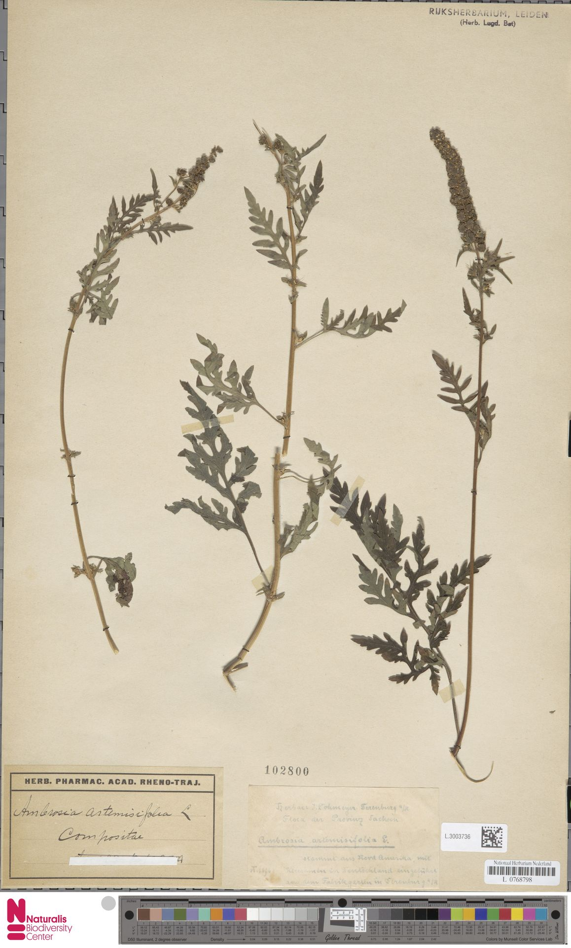 L.3003736 | Ambrosia artemisiifolia L.