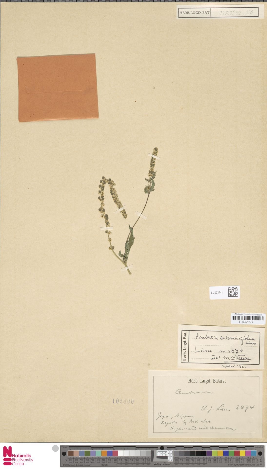 L.3003741   Ambrosia artemisiifolia L.