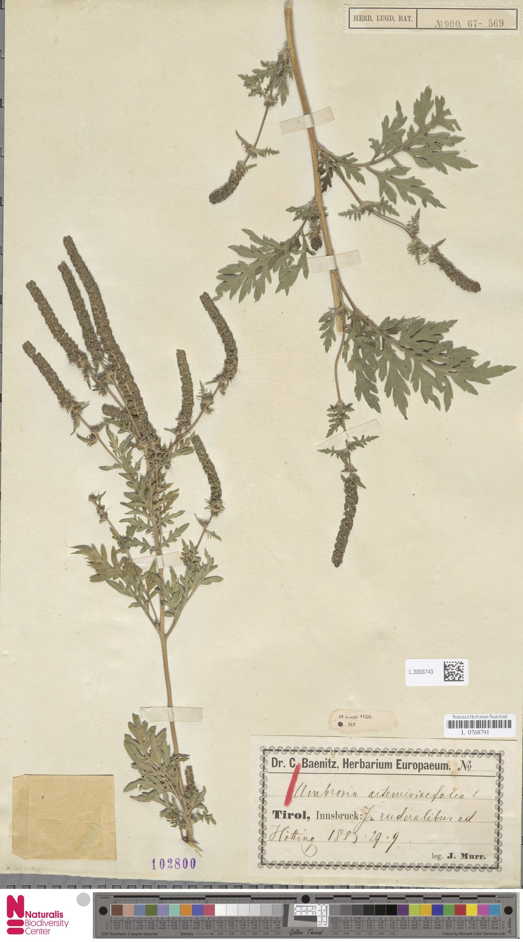 L.3003743   Ambrosia artemisiifolia L.