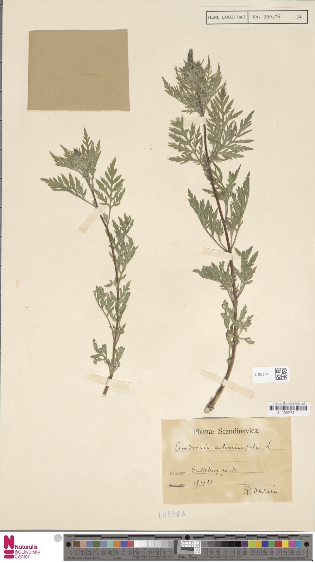 L.3003747 | Ambrosia artemisiifolia L.