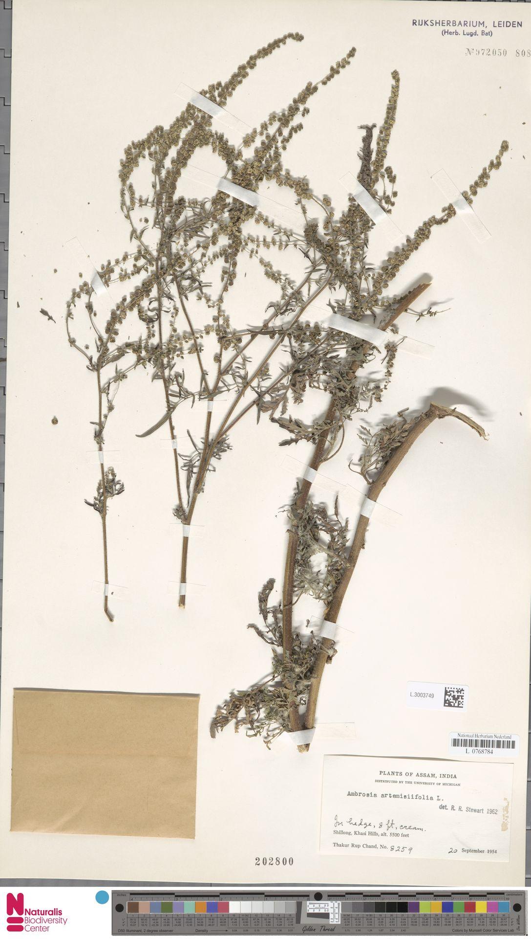 L.3003749 | Ambrosia artemisiifolia L.