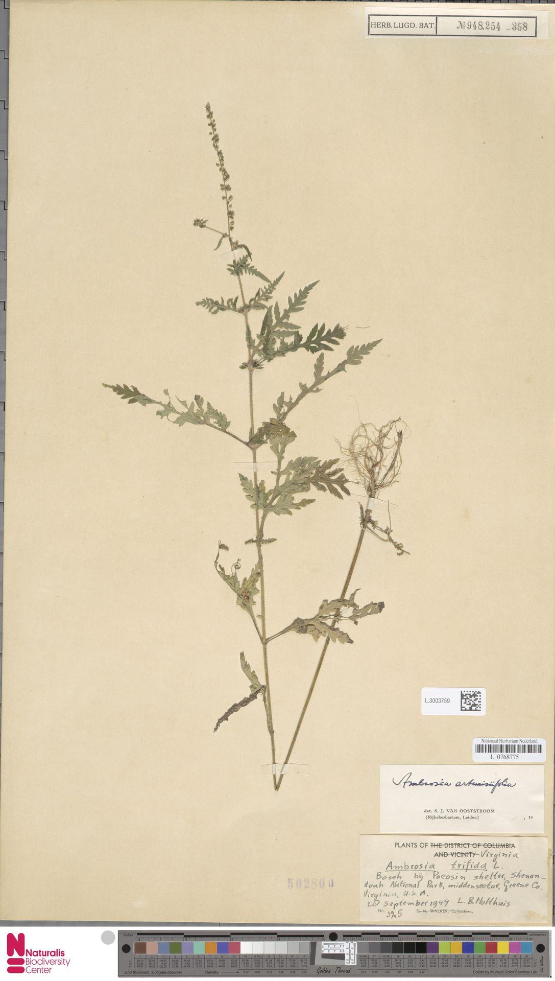 L.3003759   Ambrosia artemisiifolia L.