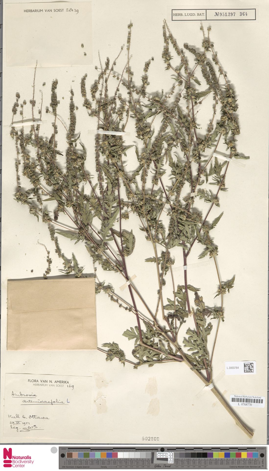 L.3003764 | Ambrosia artemisiifolia L.