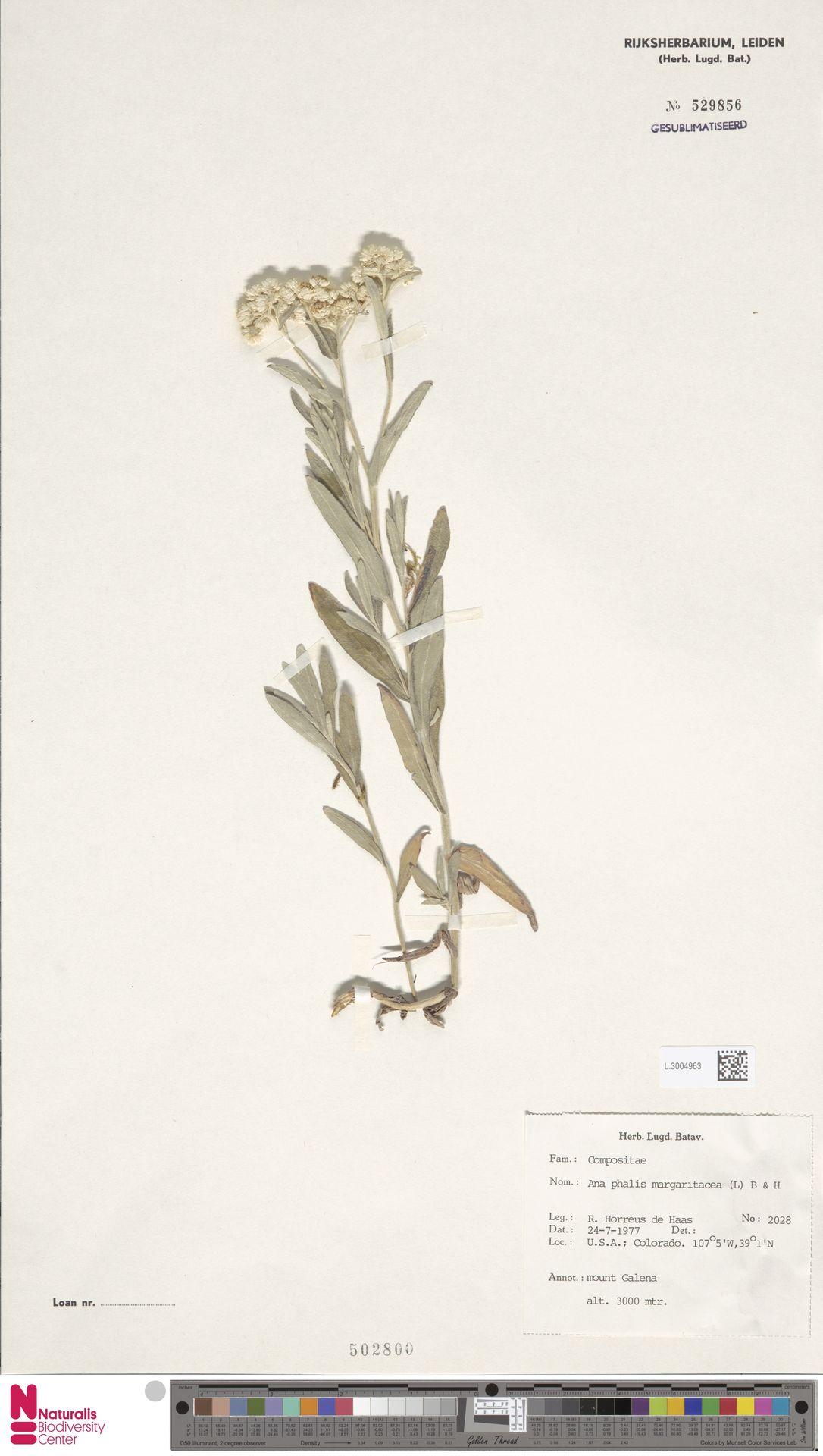 L.3004963 | Anaphalis margaritacea (L.) Benth. & Hook.f.