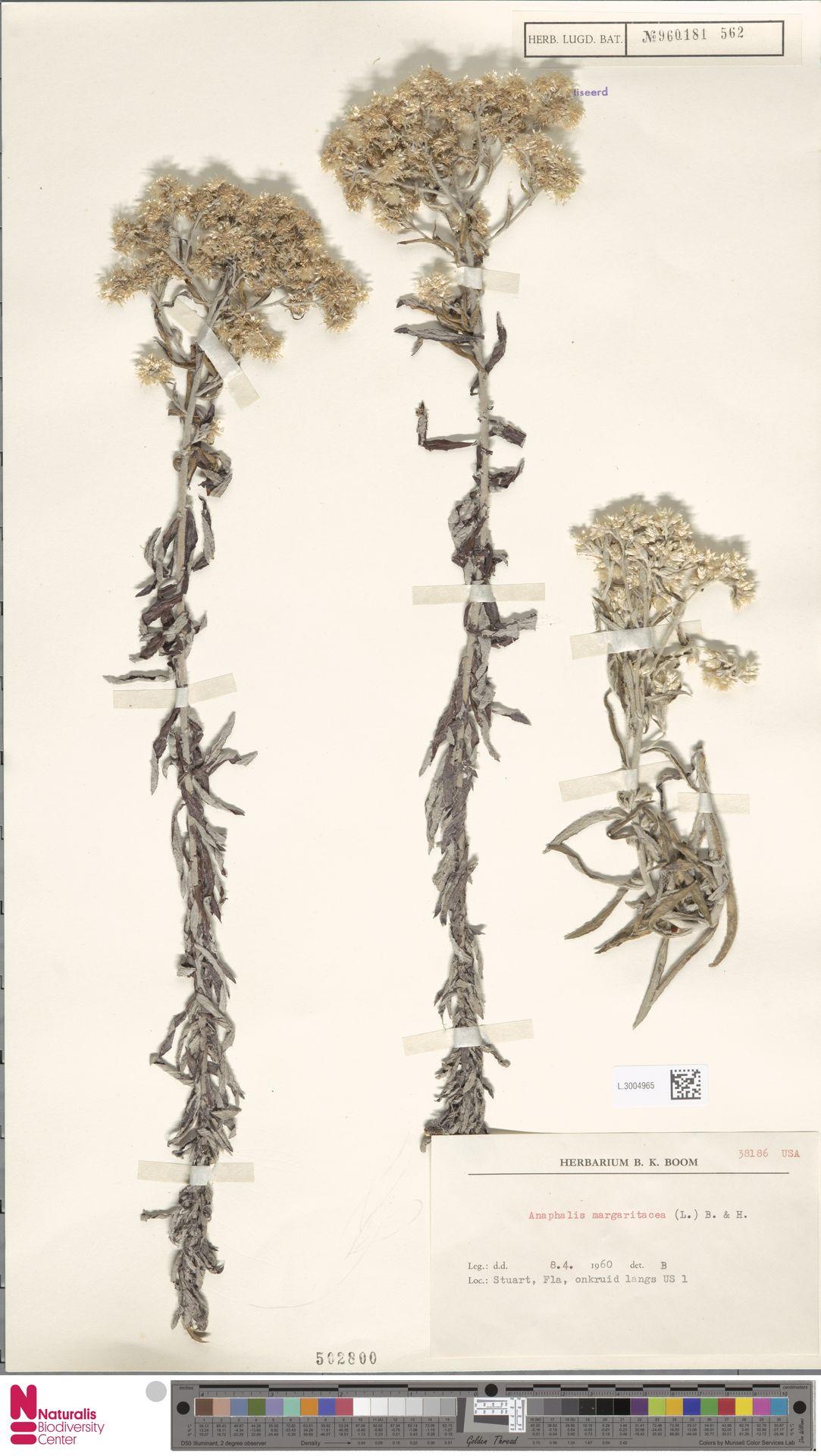 L.3004965 | Anaphalis margaritacea (L.) Benth. & Hook.f.