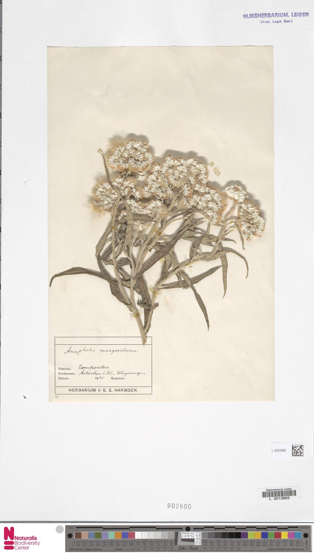 L.3004966 | Anaphalis margaritacea (L.) Benth. & Hook.f.